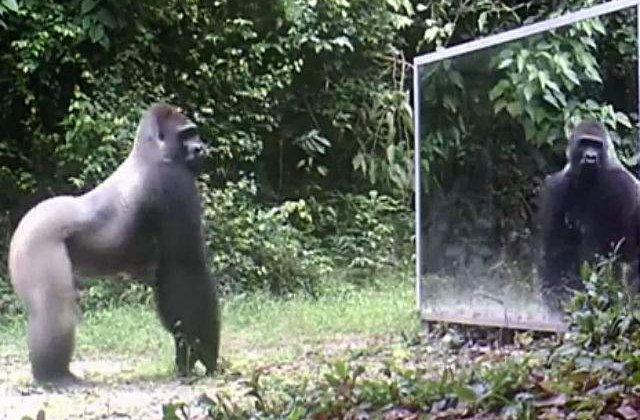[VIDEO] Au pus o oglinda in mijlocul padurii. Cum reactioneaza animalele cand isi vad reflexia
