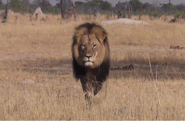 Fratele leului Cecil, ucis ilegal in Zimbabwe