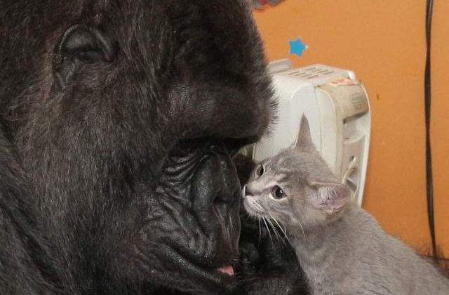 [VIDEO] Clip emotionant: gorila Koko a adoptat doi pui de pisica