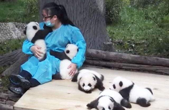 [VIDEO] Cel mai tare job: este platita pentru a se juca cu puii de urs Panda