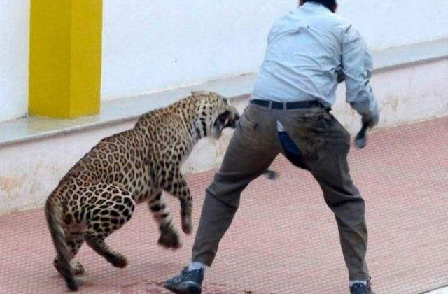 [Video] Un leopard a ranit sase persoane intr-o scoala din India