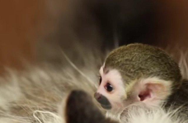 [Video] O pisica a devenit mama adoptiva pentru un pui de maimuta