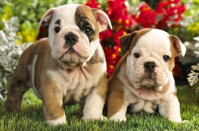 Top 10 lucruri pe care nu le stiai despre bulldogi