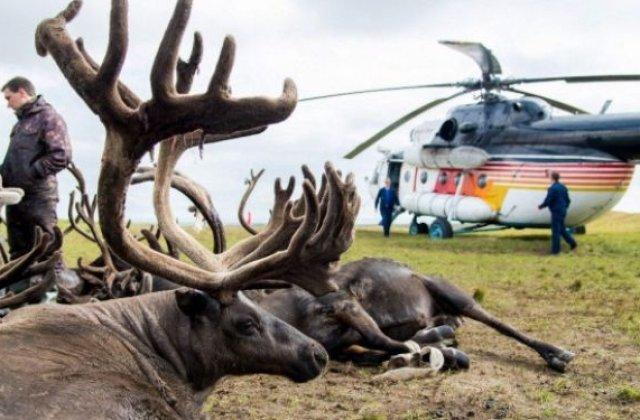 In Siberia ar putea fi sacrificati 250.000 de reni din cauza raspandirii antraxului